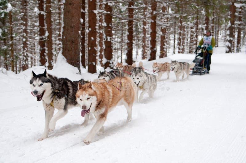 Sled dog racing stock photography