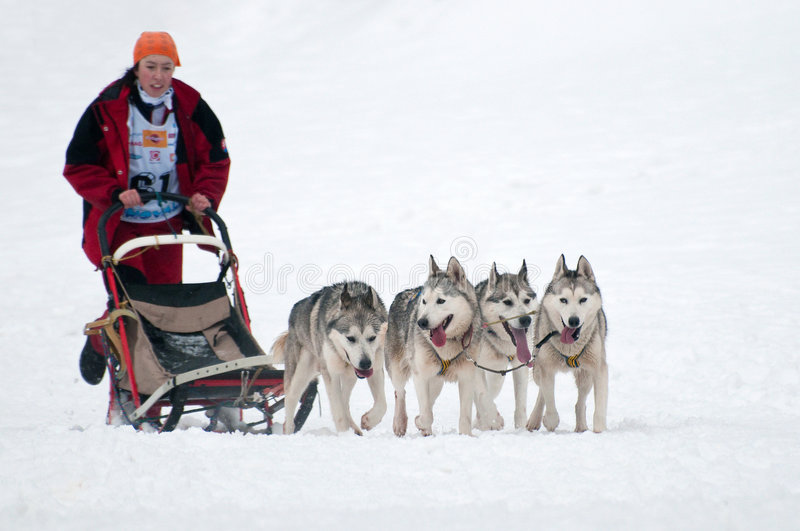 Sled Dog Racing. 3rd Central european championship opening in Sled Dog Racing, Donovaly, Slovakia, February 8, 2009 royalty free stock photography