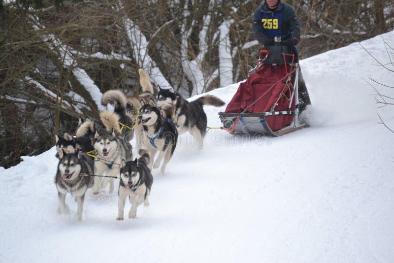 Sled dog running royalty free stock images