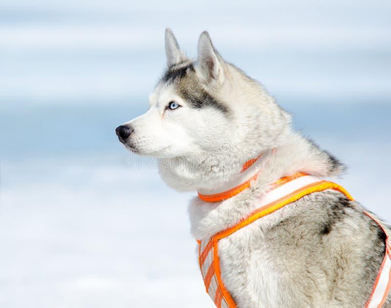 Sled dog - Siberian husky. A Siberian husky dog in a harness stock photos