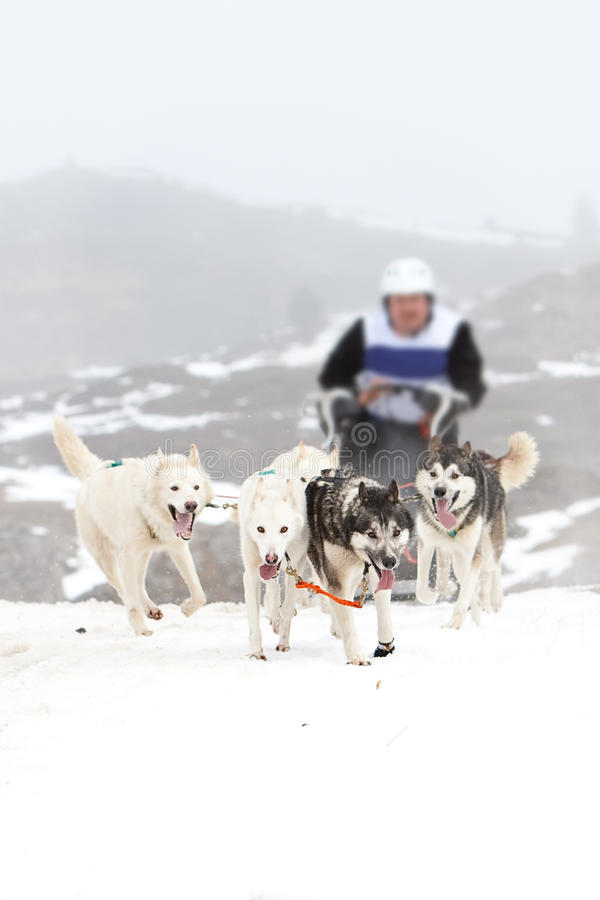 Download Sled dog on the snow stock photo. Image of sled, adventure - 24542400