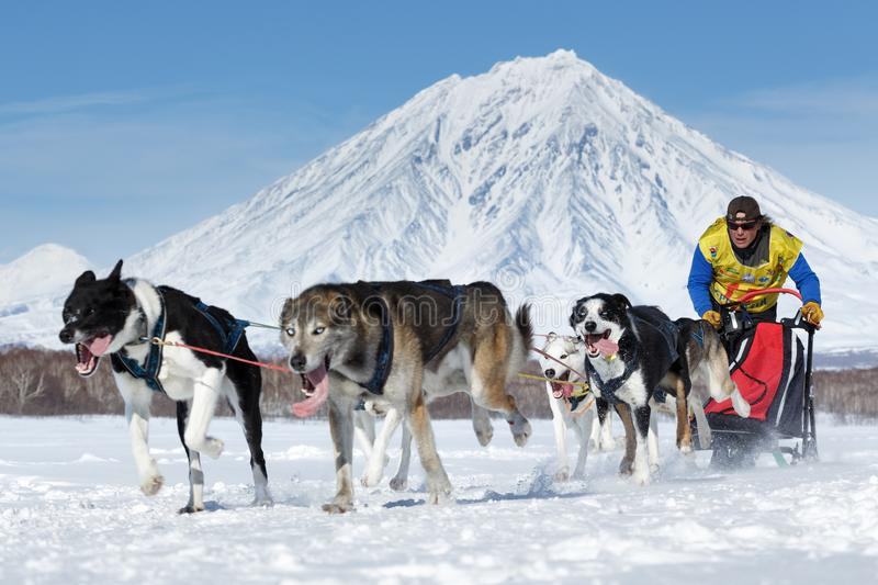 Sled dog team running on background of volcano. Kamchatka Sled Dog Race Beringia, Russian Cup of Sled Dog Racing snow disciplines royalty free stock image