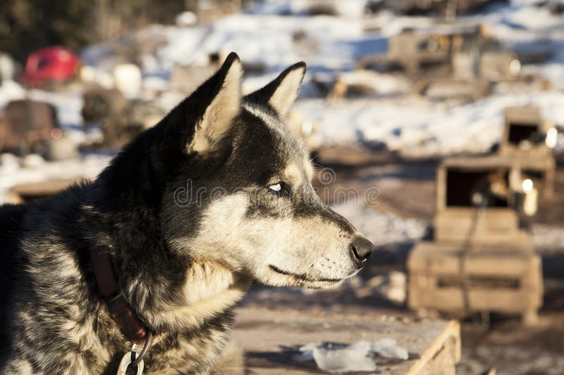 Download Sled Dog With White Eyes stock image. Image of colorado - 27194849
