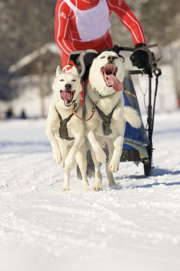 Download Sled dogs stock photo. Image of active, tongue, malamute - 8452518