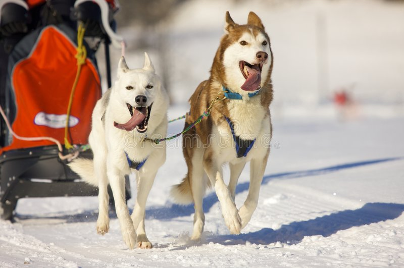 Download Sled dogs stock photo. Image of canine, sledge, mouth - 8452526