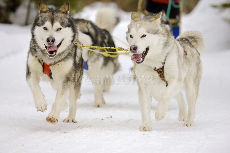 Download Sled dogs stock image. Image of huskies, sled, canine - 8720865