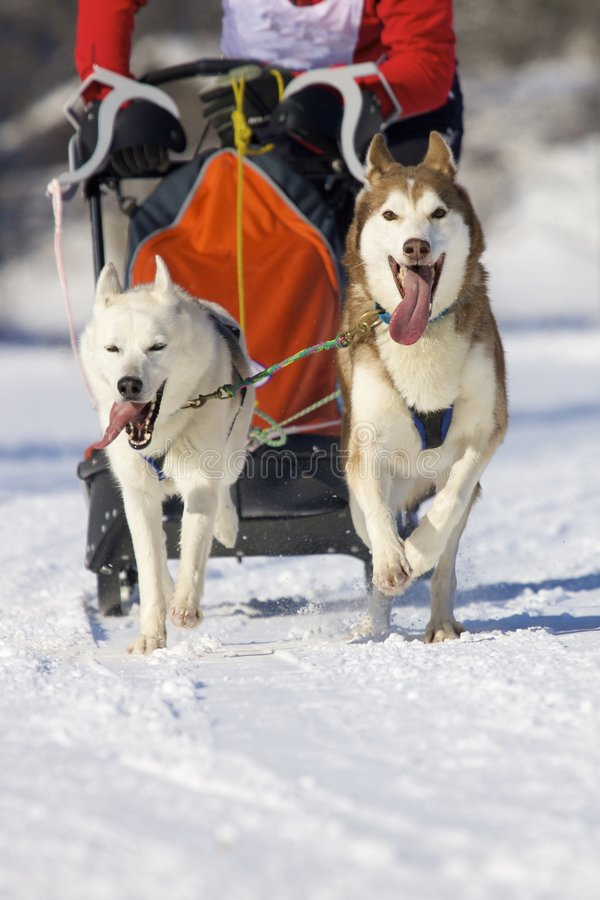 Download Sled dogs stock photo. Image of canine, fast, race, sleigh - 8720902