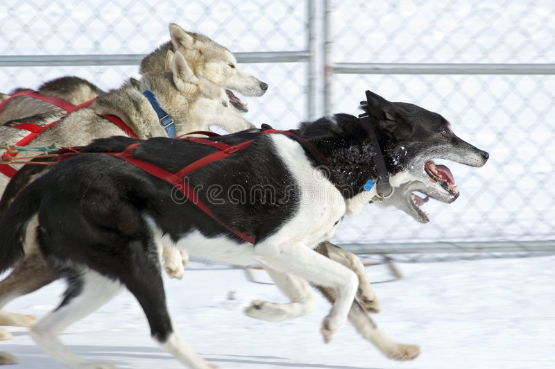 Download Sled Dogs Race By stock photo. Image of sport, speed, team - 2000338