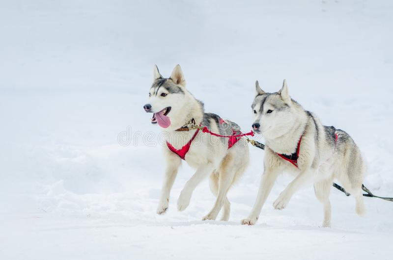 Sled dogs race competition, Siberian husky dogs in harness, Sleigh championship challenge in cold winter russia forest. Sled dogs race competition. Siberian royalty free stock photography