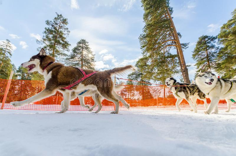 Sled dogs race competition, Siberian husky dogs in harness, Sleigh championship challenge in cold winter russia forest. Sled dogs race competition. Siberian stock photos