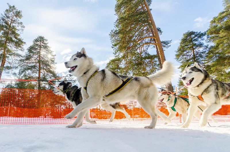 Sled dogs race competition. Siberian husky dogs in harness. Sleigh championship challenge in cold winter russia forest royalty free stock photo