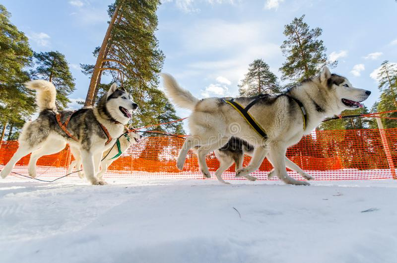 Sled dogs race competition, Siberian husky dogs in harness, Sleigh championship challenge in cold winter russia forest. Sled dogs race competition. Siberian royalty free stock photos