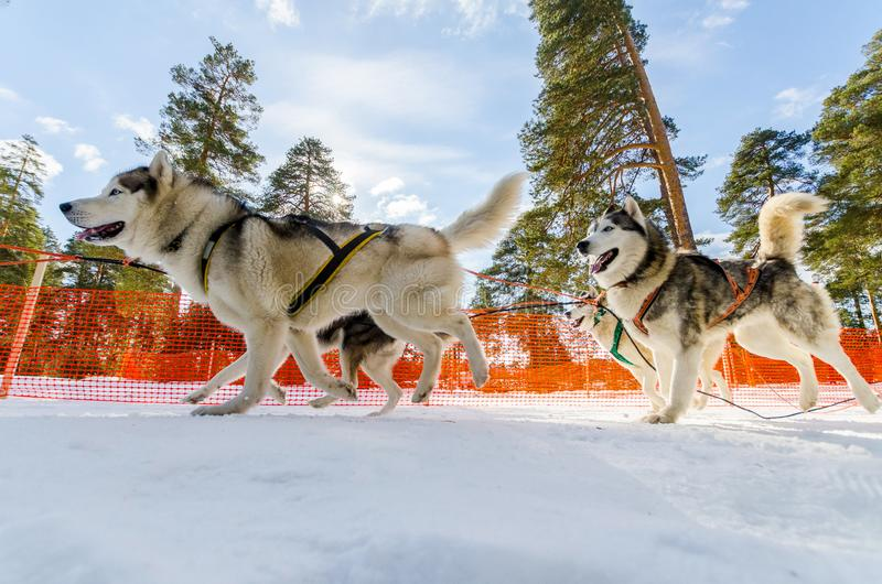 Sled dogs race competition. Siberian husky dogs in harness. Sleigh championship challenge in cold winter russia forest royalty free stock photos