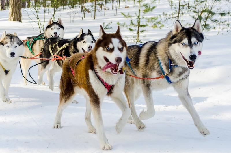 Sled dogs race competition. Siberian husky dogs in harness. Sleigh championship challenge in cold winter russia forest stock image