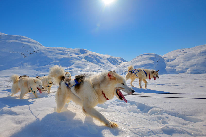Sled dogs running in Greenland. Sled dogs on the pack ice of Greenland stock images