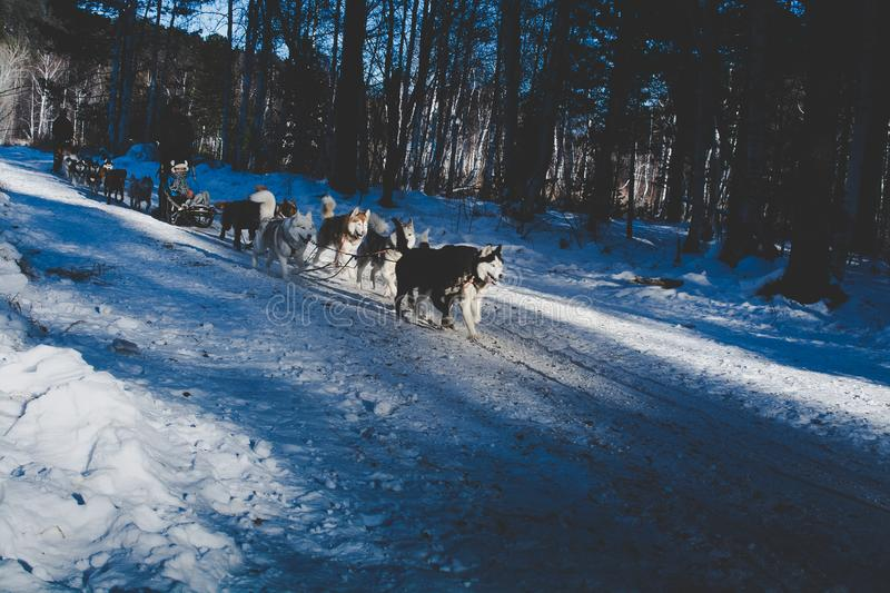 Sled dogs running on snow in Russia stock photo