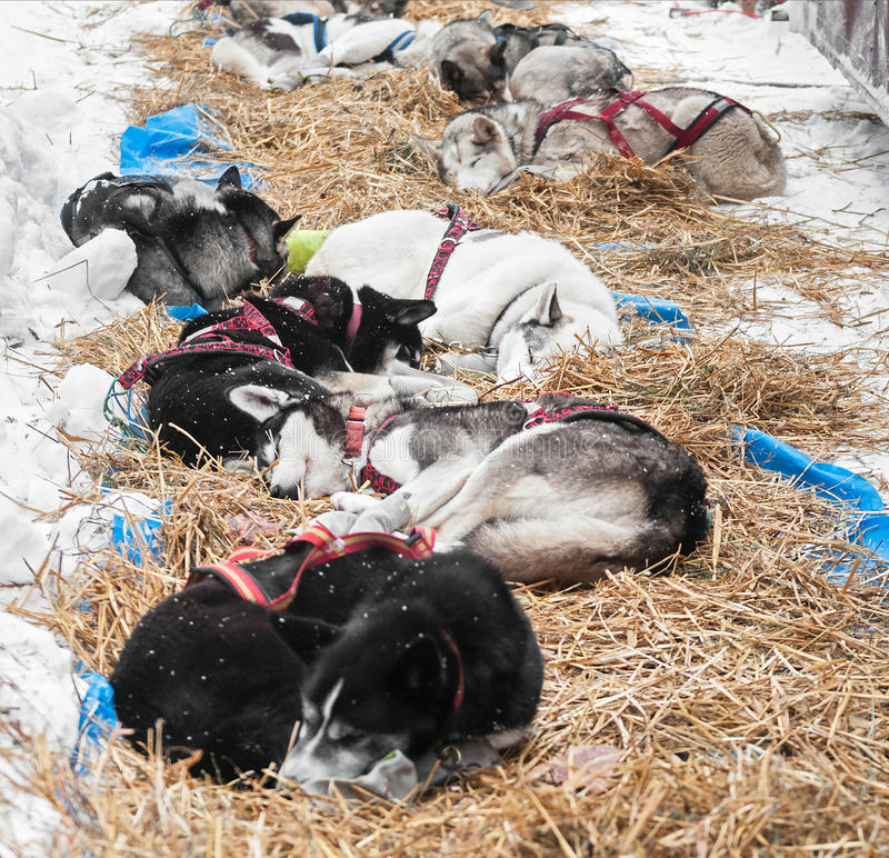 Sled Dogs Sleep at Checkpoint Between Legs. 4 hour mandatory rest stop royalty free stock photos