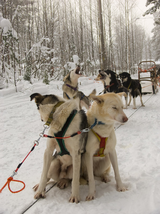 Sled Dogs in the snow royalty free stock image