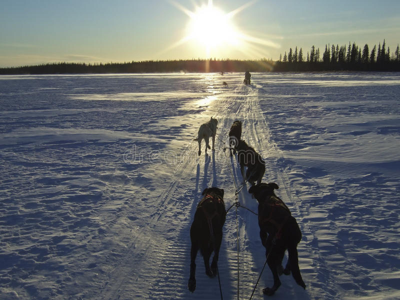 Sled dogs in snowy landscape