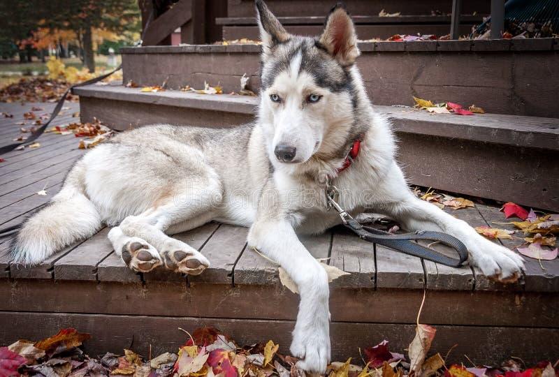 Sled husky dog sit on balcony on Autumn stock photography