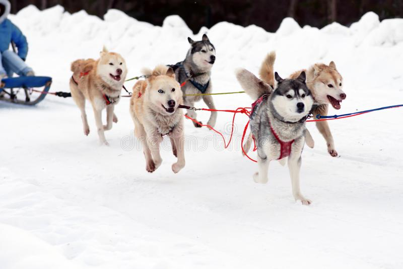 Sled Husky dogs. Working sled dog of the North. Active Husky sledding in the winter in the harnesses to drive in the. Working sled dogs of the North. Husky royalty free stock photos