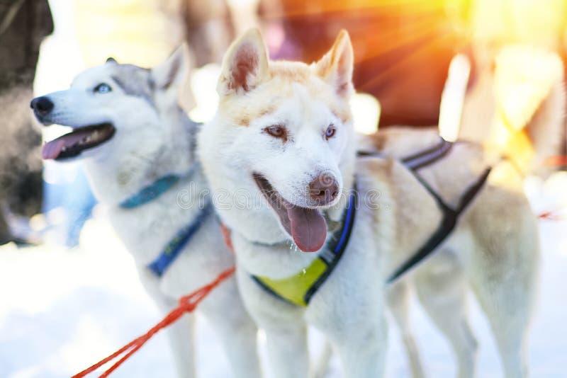Sledding与多壳的狗在拉普兰芬兰 免版税图库摄影