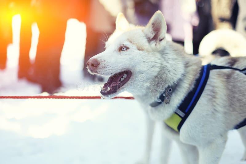 Sledding与多壳的狗在拉普兰芬兰 免版税库存照片
