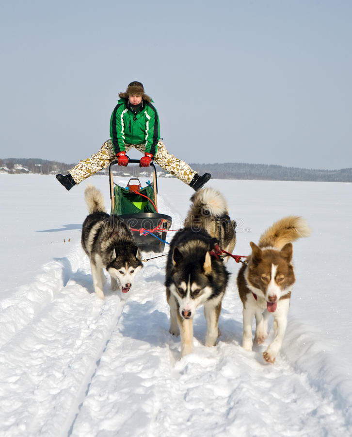 sledding的狗 库存照片