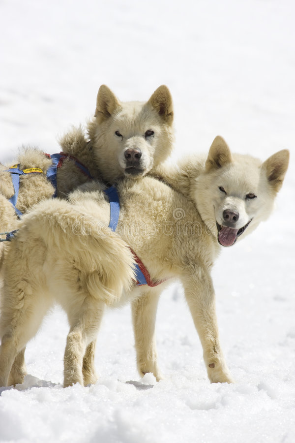 sledding的狗 免版税库存照片