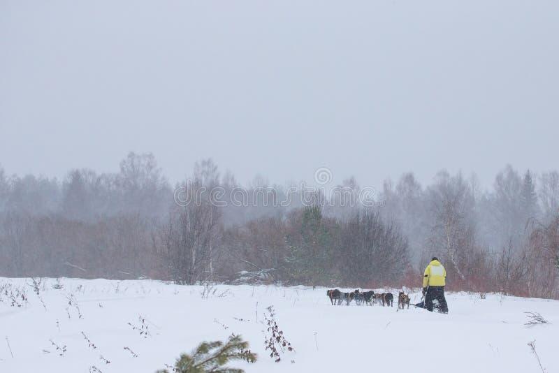Sledding con i cani del husky in una foresta di inverno vicino al volume della città di Totma fotografie stock
