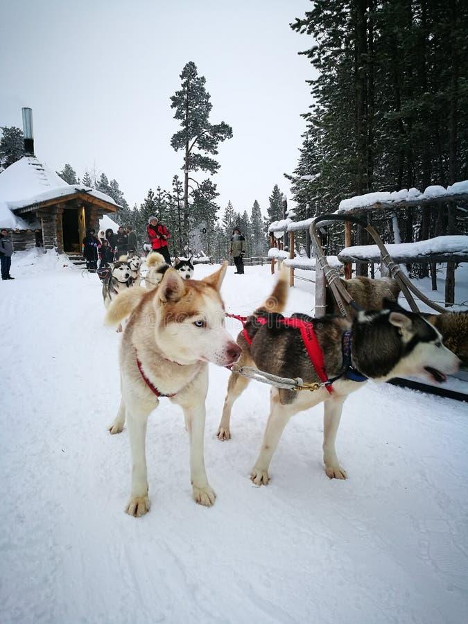 Sledding de chien de traîneau sibérien image libre de droits