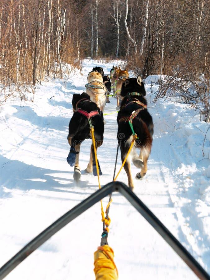 Sledding del cane prende a turisti la natura di tocco e l'esperienza emozionante; attività di viaggio nel villaggio di Listvyanka fotografia stock libera da diritti