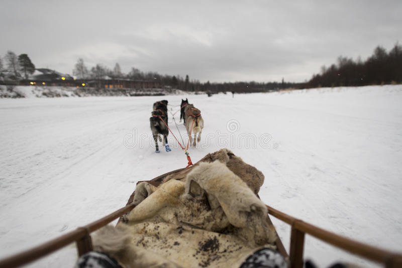Sledding in lapland. Sledding with husky dogs in lapland royalty free stock photos
