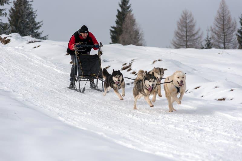 Sledding lopp för hund med huskies royaltyfri bild