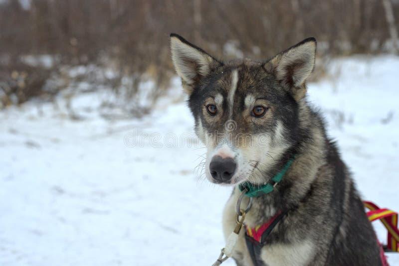 Sledding med slädehunden i Lapland i vintertid fotografering för bildbyråer