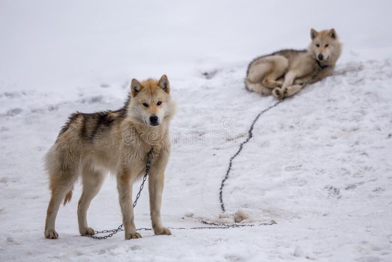 Sleddingshonden in Sisimiut, Groenland royalty-vrije stock foto