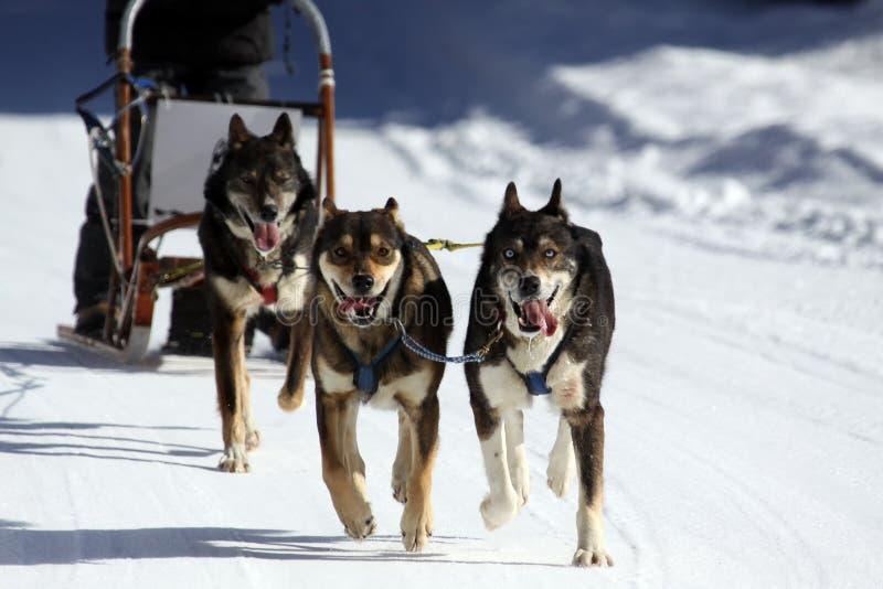 Sleddog hund som sledding, Slovenien, Italien arkivbilder