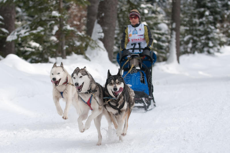sleddog mistrzostwa europejski bieżny sleddog Slovakia zdjęcie stock