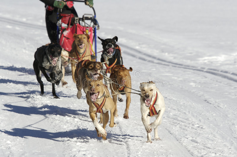 Download Sleddog race stock image. Image of canis, couple, carnivore - 6074603