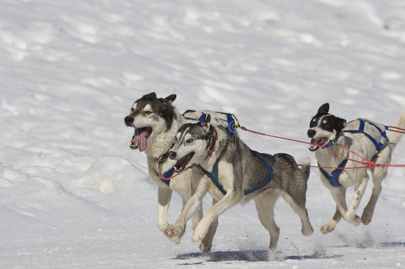 Download Sleddog race stock photo. Image of drive, domestic, event - 6074692