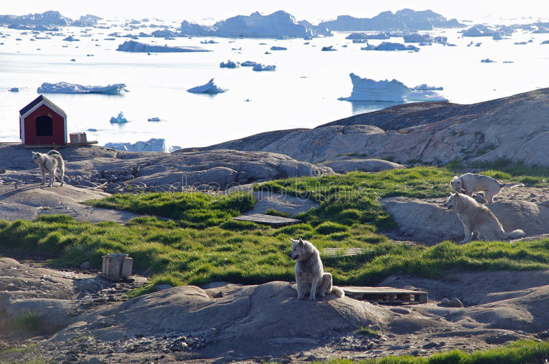 Sledge dogs, Ilulissat, Greenland. Four sledge dogs and a kennel in front of the icebergs of Disko Bay, Ilulissat, Greenland stock photography