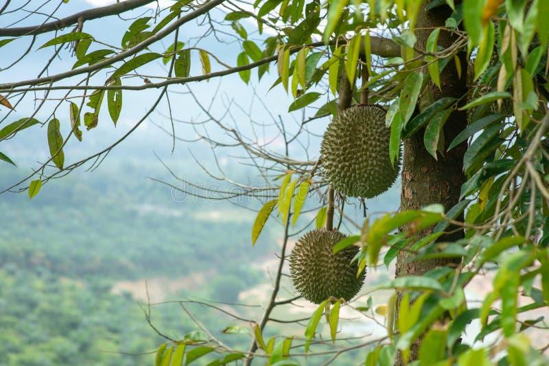 Sleedoorn durian boom stock afbeeldingen
