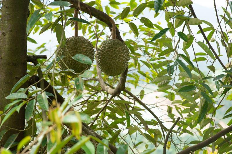 Sleedoorn durian boom royalty-vrije stock foto's
