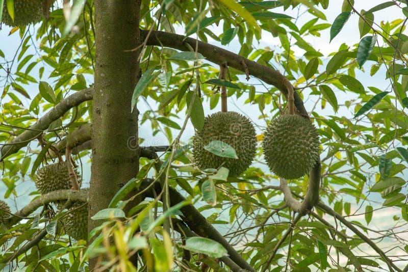 Sleedoorn durian boom royalty-vrije stock foto
