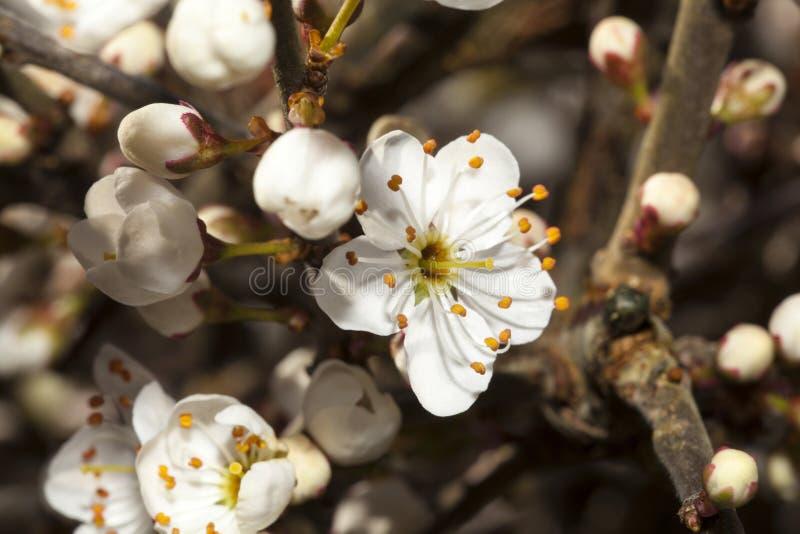 Sleedoornbloesem stock afbeeldingen