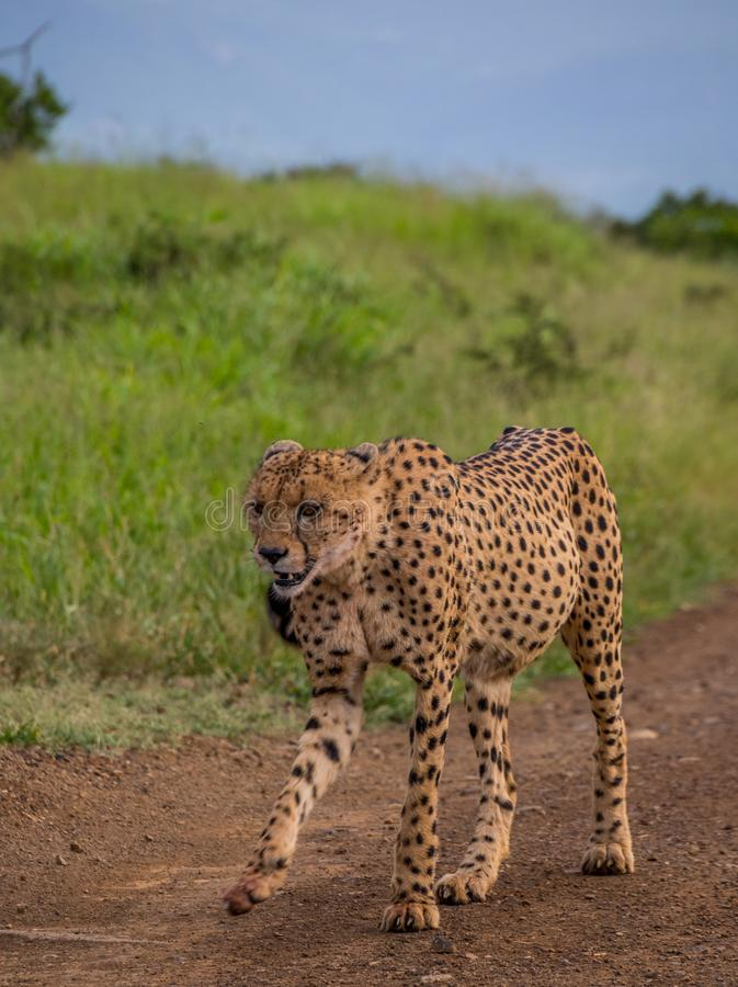 Sleek cheetah in the African bush. A sleek young male cheetah walks down a sandy road in the African wilderness image with copy space stock photo