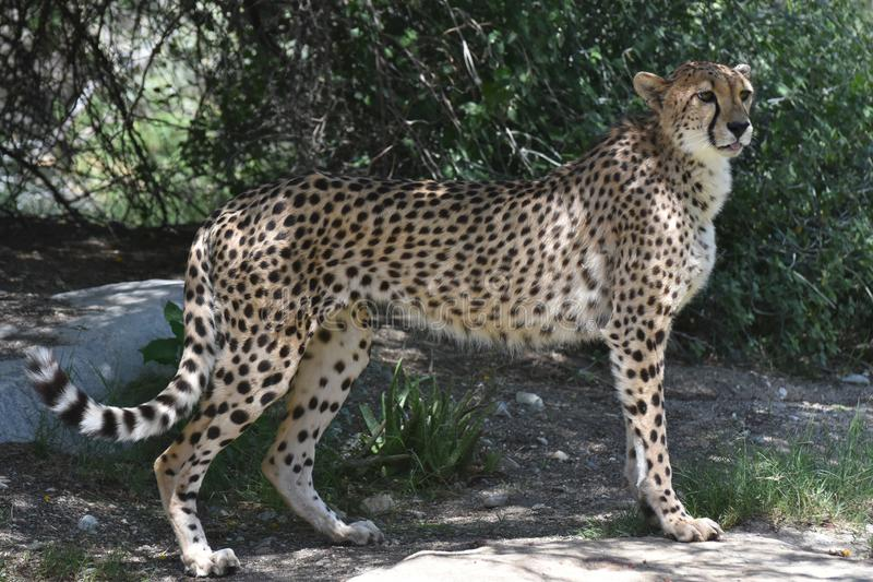 Sleek Regal Cheetah Cat Standing Poised on a Rock. Regal sleek cheetah cat standing poised on a rock stock photography