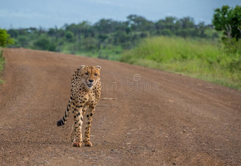 Sleek cheetah in the African bush. A sleek young male cheetah walks down a sandy road in the African wilderness image with copy space stock images
