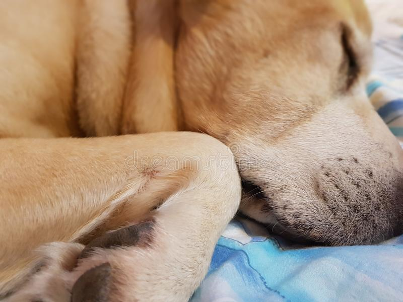 Sleeping dog on the bed royalty free stock photography