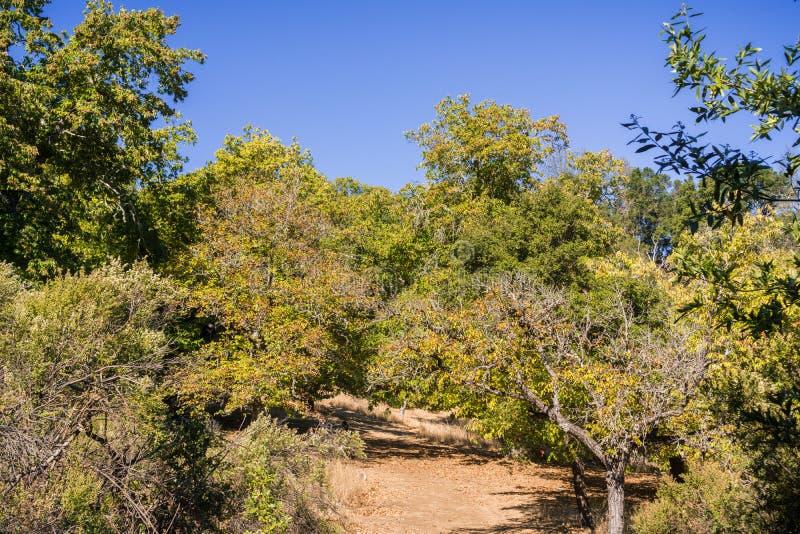 Sleep door een Sativa boomgaard van kastanjescastanea op een zonnige de herfstdag stock foto's